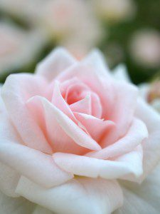 """The rose is important to those living with cystic fibrosis. To find out why, click on this photo and read the story of """"65 Roses""""."""