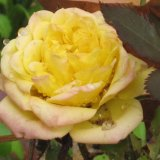 Naomi's Circle yellow rose
