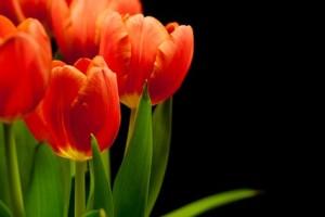tulips-516017_640(1)