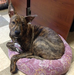 Large brindle dog in a small pink dog bed
