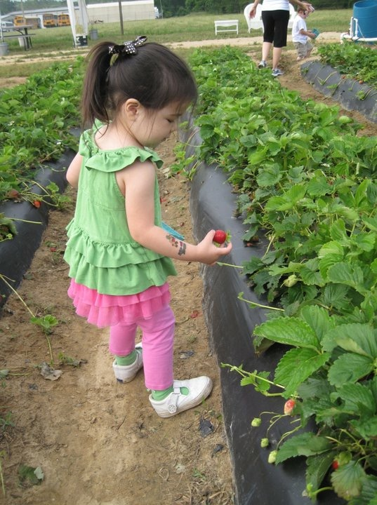 Cottle Farm Strawberry Picking | Columbia SC Moms Blog